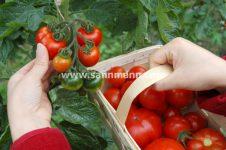 Tomatenfest, Ökomarkt und Selbsternte - demeter Gärtnerei Sannmann 29.07.17
